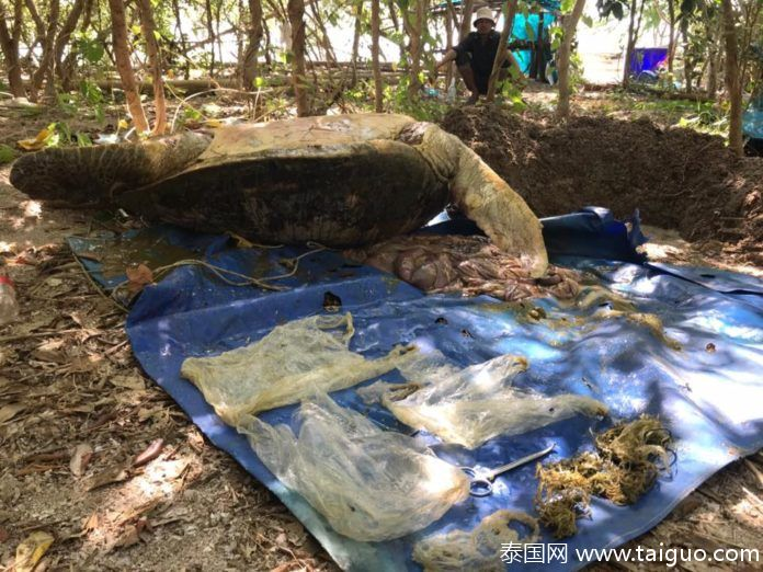 70kg大海龟腐烂泰国海滩,胃中全是塑料!